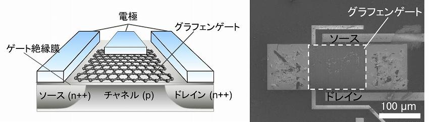 図2 新開発グラフェンゲートセンサーの模式図(左)と製作したセンサーの走査電子顕微鏡像(右)
