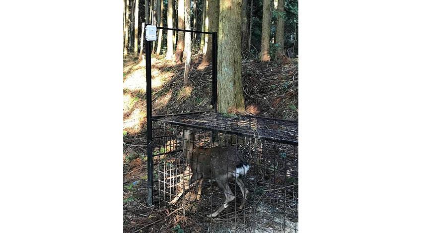 LPWAで野生獣の捕獲通知、フォレストシーと岐阜大学