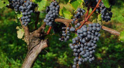 日本ソフト開発とクロイ電機、Sigfox活用したブドウ農園栽培環境モニタリング実証実験を開始