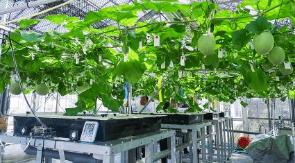 富士通と越谷市、IoT活用のメロン水耕栽培で協業